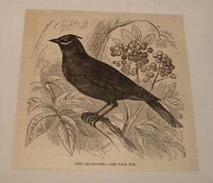 1880-magazine-engraving-THE-CEDAR-BIRD