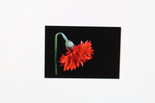 Centaurea cyanus # 210 bleu floraison 2 x 20 graines Kornblume