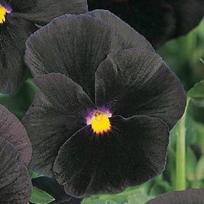 COOL WEATHER PLANT PERENNIAL 35 PANSY JOKER POKER FACE aka VIOLA FLOWER SEEDS