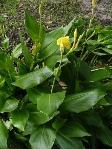 Golden Canna  Wild Canna  Canna flaccida   10 Seeds Free Shipping
