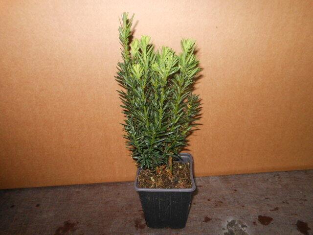 Taxus media 50 Stück Hicksii bildet Beeren Becher-Eibe 20-30 cm T9X9 Heckenpfl.