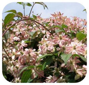 Clematis-Vine-Montana-039-Marjorie-039-Bare-Root-Plants-x-3-Climbing-Double-Flowering