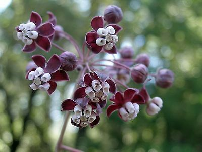 Asclepias cordifolia Heartleaf Milkweed (Monarch Host Plants) 10 seeds