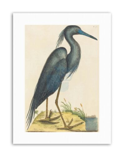 MARK CATESBY ENGLISH BLUE HERON Picture Canvas art Prints