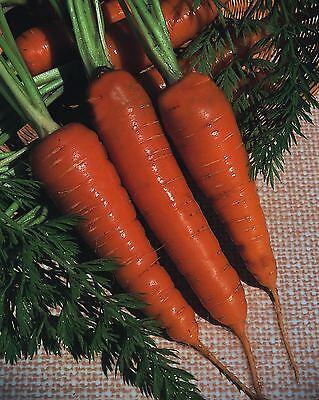 Vegetable - Carrot - Chantenay Royal - 800 Seeds - Economy