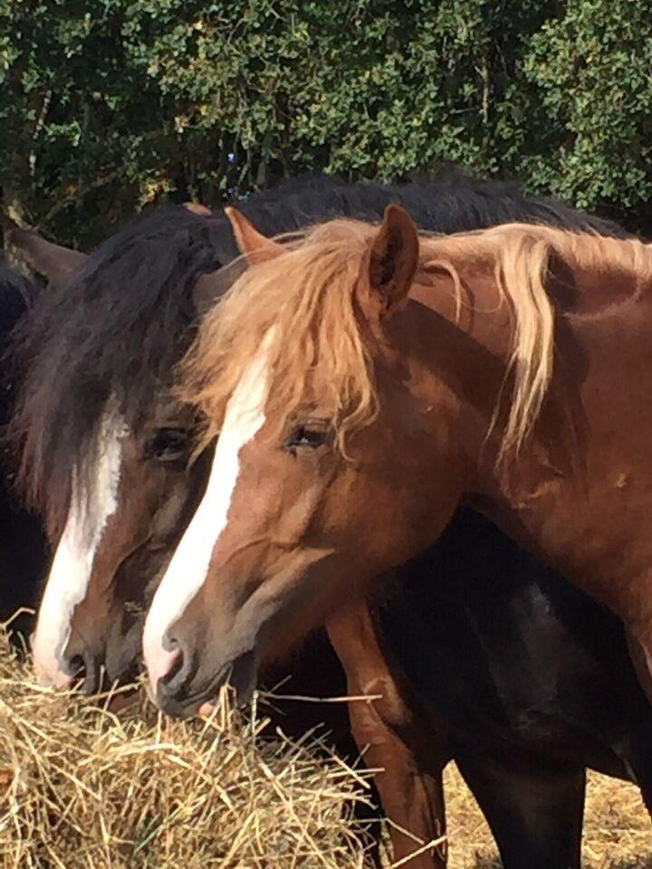 Welsh pony og Cob, hoppe, 1 år