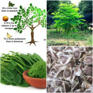 Moringa-Oleifera-Fresh-Organic-Seeds-Miracle-Herb-Tree-Plant-Health-Benefit-Seed