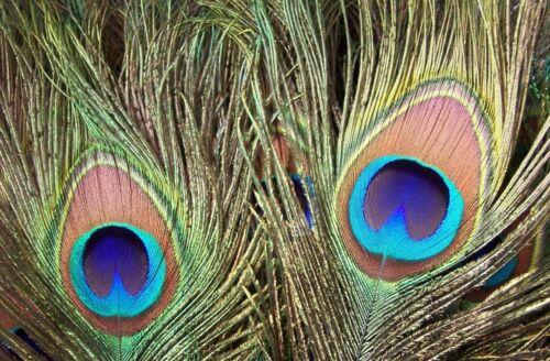 10 noble naturaleza-plumas 75-90 cm verdadera pfauenaugen joyas-plumas pavo real