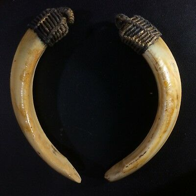 Real 2 Wild Boar Pig Teeth Takrut Amulet Thai Power Tooth Holy Blessed Pendant
