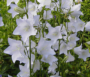 100 Seeds Bellflower Blue Campanula Persicifolia
