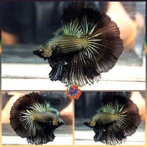 Live Betta Fish Male Fancy Black Copper Dragon Halfmoon #V654