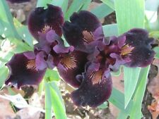 DEVIL BABY black Keppel Dwarf Bearded Iris