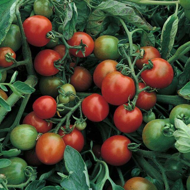 VEGETABLE TOMATO (BUSH) RED ALERT 500 SEEDS BULK