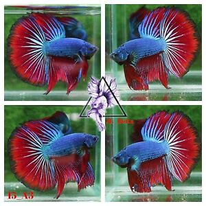 [15_A3]Live Betta Fish High Quality Male Fancy Over Halfmoon 📸Video Included📸