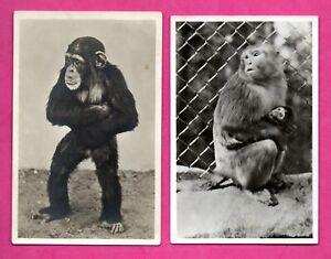 Scimmia-Lotto-di-4-Vintage-Foto-Cartoline-241