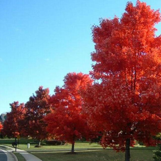 Roter japanischer Fächerahorn 10 Samen Acer palmatum #JS0085&Hot W6E6