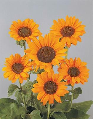 Helianthus Sunflower Moulin Rouge Annual Seeds