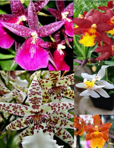 Cattleya, Oncidium, Vanda, Dendrobium, Phalaenop ORCHIDS LIVE PLANTS 4