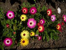 300+ Samen  Mesembryanthemum criniflorum - Eisblume , Eiskraut - Farbmix