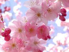 5 Flower Seeds Cherry Tree Shrub Seeds cherry-tree Edible Fruits