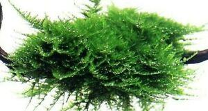 Christmas Moss Carpet.Details About 5g Christmas Moss Vesicularia Montagnei Shrimp Safe Carpet Plant Aquarium