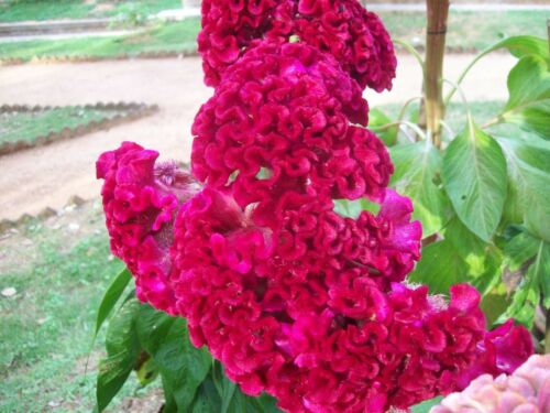 Edible Heirloom Crested Cockscomb Flowering Plant Celosia Cristata Pink Seeds