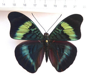 Panacea-prola-Weibchen-ex-Dpt-Boyava-Kolumbien-n653b