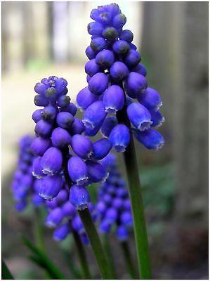 Free Postage UK Grape Hyacinth Bulbs Ready to Plant 10 Muscari armeniacum