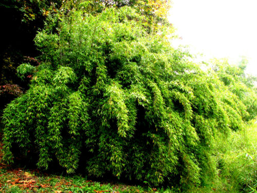 Blue Fountain Bamboo!VERY RARE SEEDS! Arundinaria Nitida FRESH 2016 seeds! HARDY