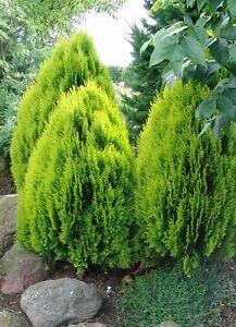 25-Semillas-Tuya-THUJA-ORIENTALIS-Arbusto-Jardin-Seeds-Samen-Semi