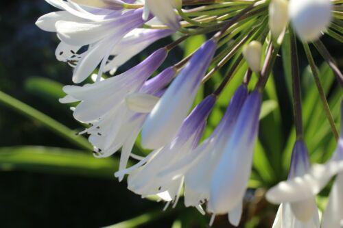 Bijoux Lily Agapanthus Queen Maman-Bicolore géant Balle