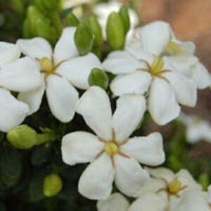 GRANDIFLORA-STAR-GARDENIA-fragrant-flowers-compact-plant-in-140mm-pot
