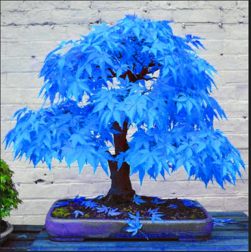 Bonsai Seeds Ghost Blue Maple Rare Plants Real Japanese Balcony Home Garden Leaf For Sale Online Ebay