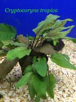 Cryptocoryne Tropica - Potted Plant P154