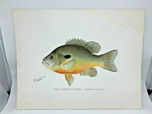 Original-Antique-Denton-Fish-Print-Long-ear-Sunfish