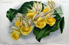 Orchidea catasetum SPLENDENS Linden Originale Antico Botanico Stampa 1896