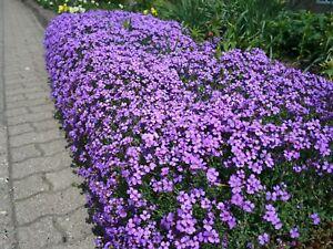 6-x-Aubretia-039-Blaumeise-039-Purple-evergreen-perennial-aubrieta-Plug-Plants