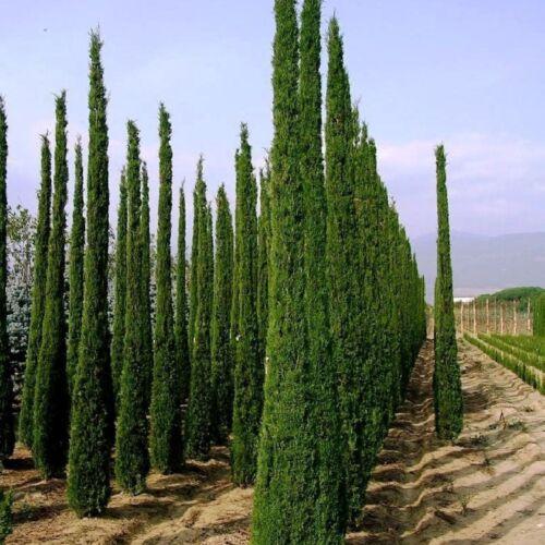 ITALIAN CYPRESS Cupressus sempervirens Stricta 10,25,50,100 Graines