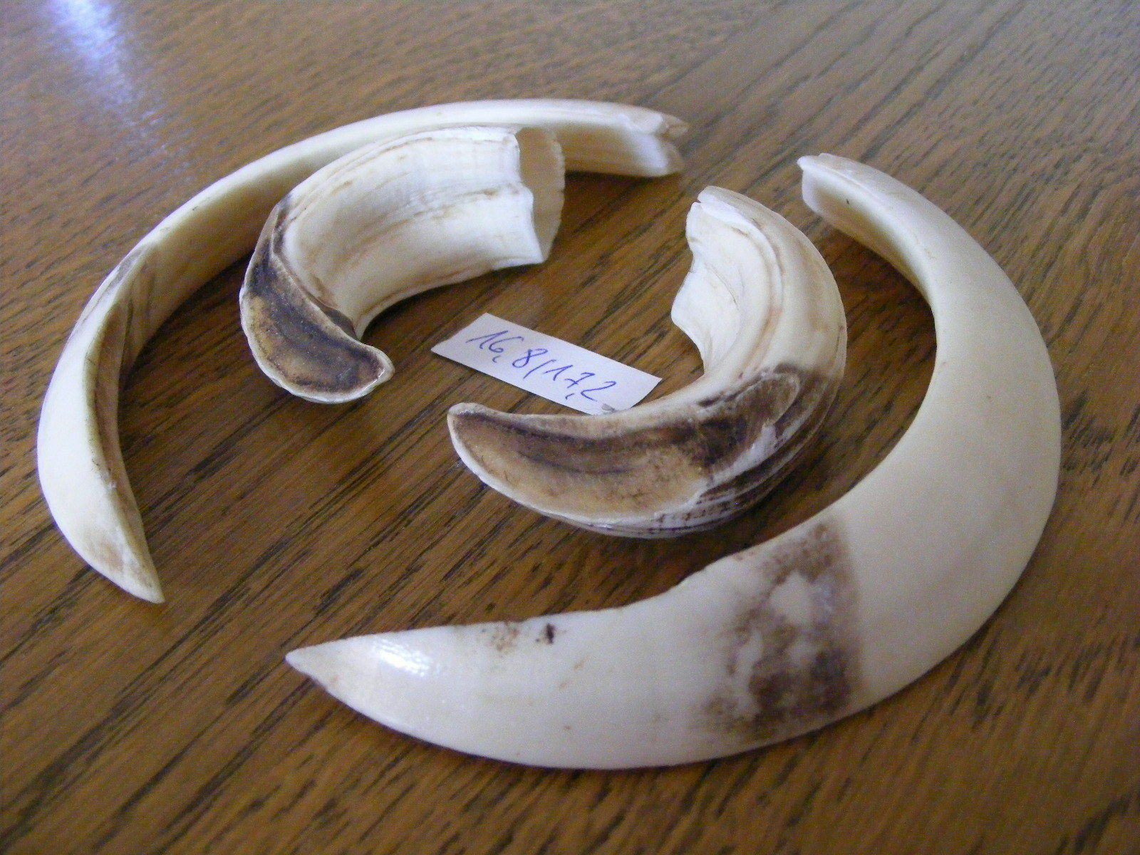 WILD (Sus BOAR TROPHY (Sus WILD Scrofa) Tusks, Teeth, hog, hunting, taxidermy, skull, 5fe395