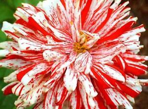 50-Zinnia-Seeds-Higro-Candy-Cane-Flower-FLOWER-SEEDS