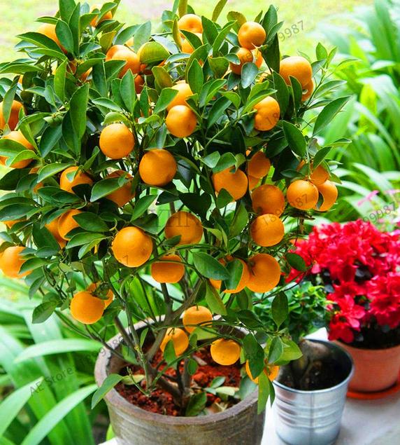 100pcs Bonsai Kumquat Trees Orange Seeds Tangerine Citrus Potted Tree Fruit For Sale Online Ebay