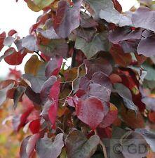 Kanadischer Judasbaum Merlot 100-125cm - Cercis canadensis