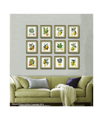 Antique Botanical Fruit SET OF 12 Unframed LEMON ORANGE Citrus Fruit Wall Art