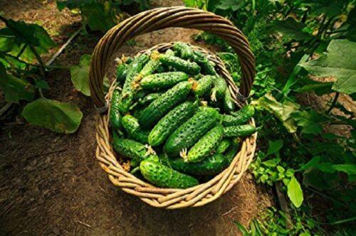 Heirloom Cucumber Dar seeds 100 Graines de Cornichon Concombre Dar