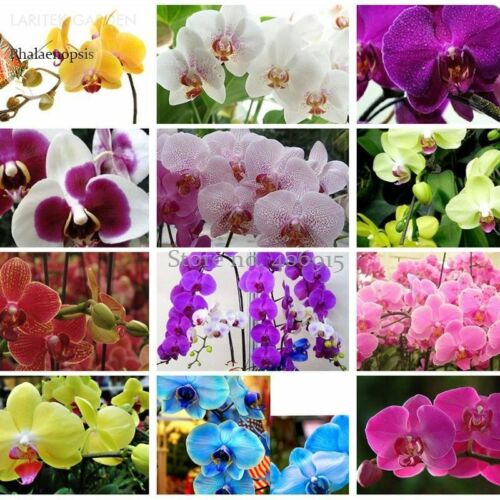100PCS Phalaenopsis Orchid Seeds Mix varieties Flower Senior Ornamental Plants