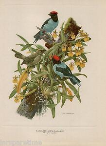 PAINTING ANIMAL BIRD JENNENS SNOW CAPPED MANAKIN 18X24/' ART PRINT POSTER LAH421A