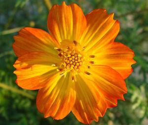 COSMOS-SULPHUR-ORANGE-Cosmos-Sulphureus-250-Seeds