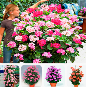 Plants Flowers Hosta 100 PCs Seeds Bonsai Free Shipping Easy to Grow Rare New N