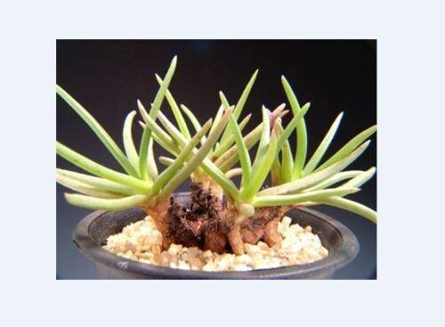 Marlothistella stenophylla MARLOTHISTELLA 10 seeds