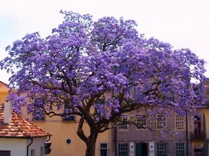 Paulownia-tomentosa-Empress-Tree-Foxglove-Tree-50-Rare-viable-plant-seeds